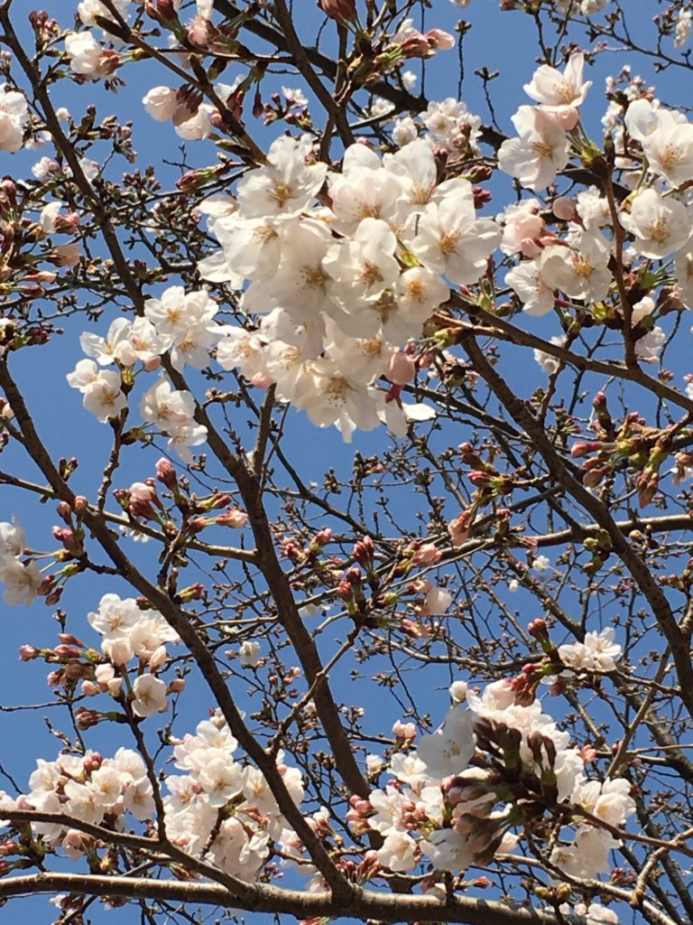桜 ほころぶ